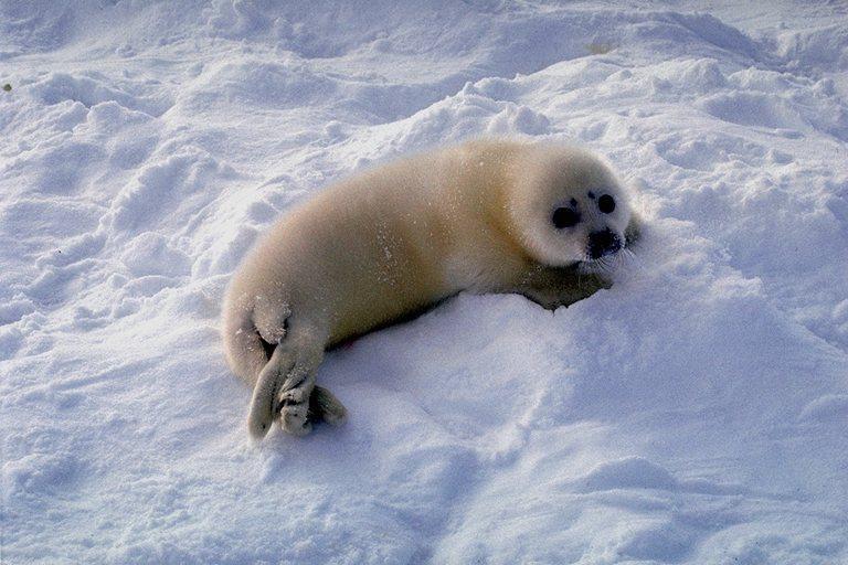 又好可怜的小海豹.图片