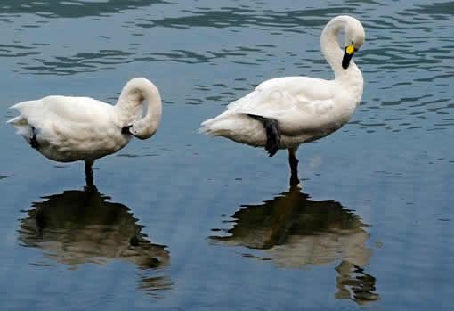 小天鹅徜徉诗画西子湖图片