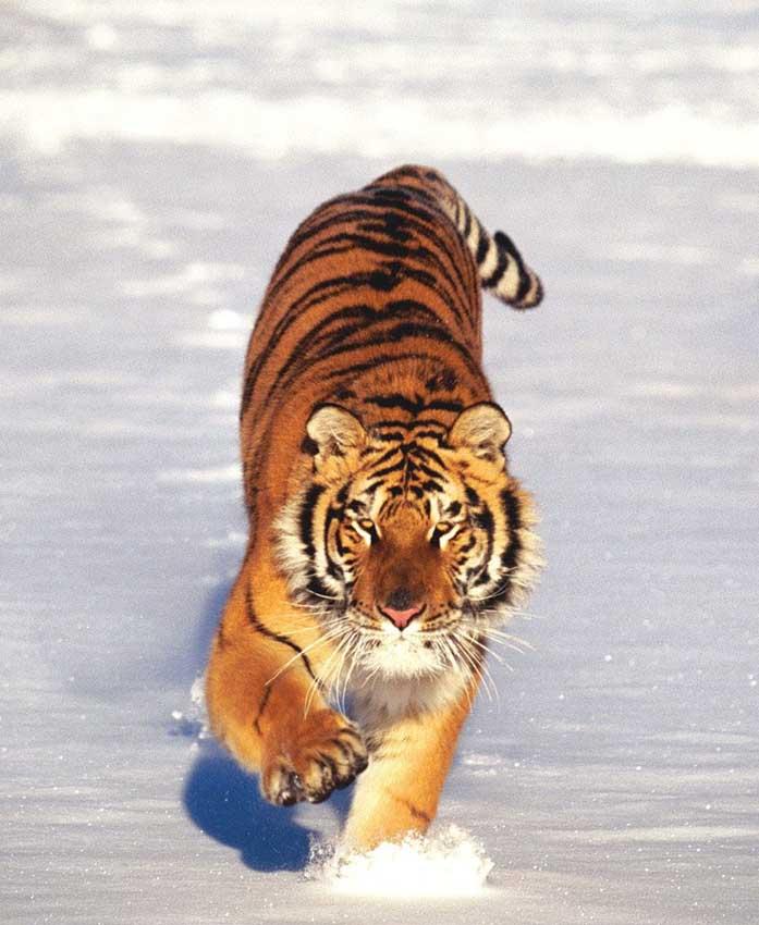 猫科动物,王者之风-虎!