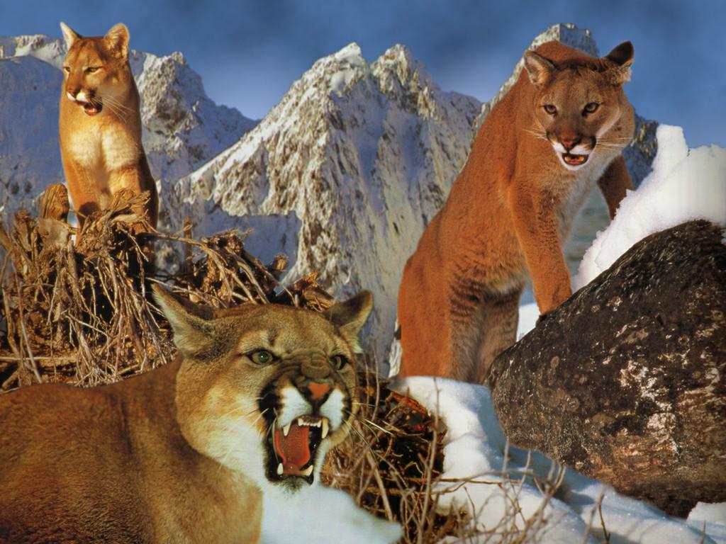 猫科动物,王者之风-美洲狮!