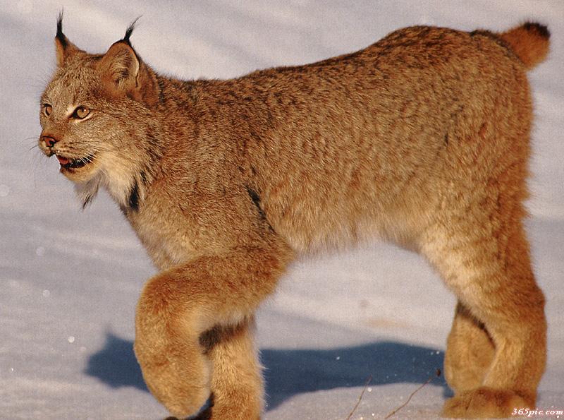 猫科动物,王者之风-猞猁!