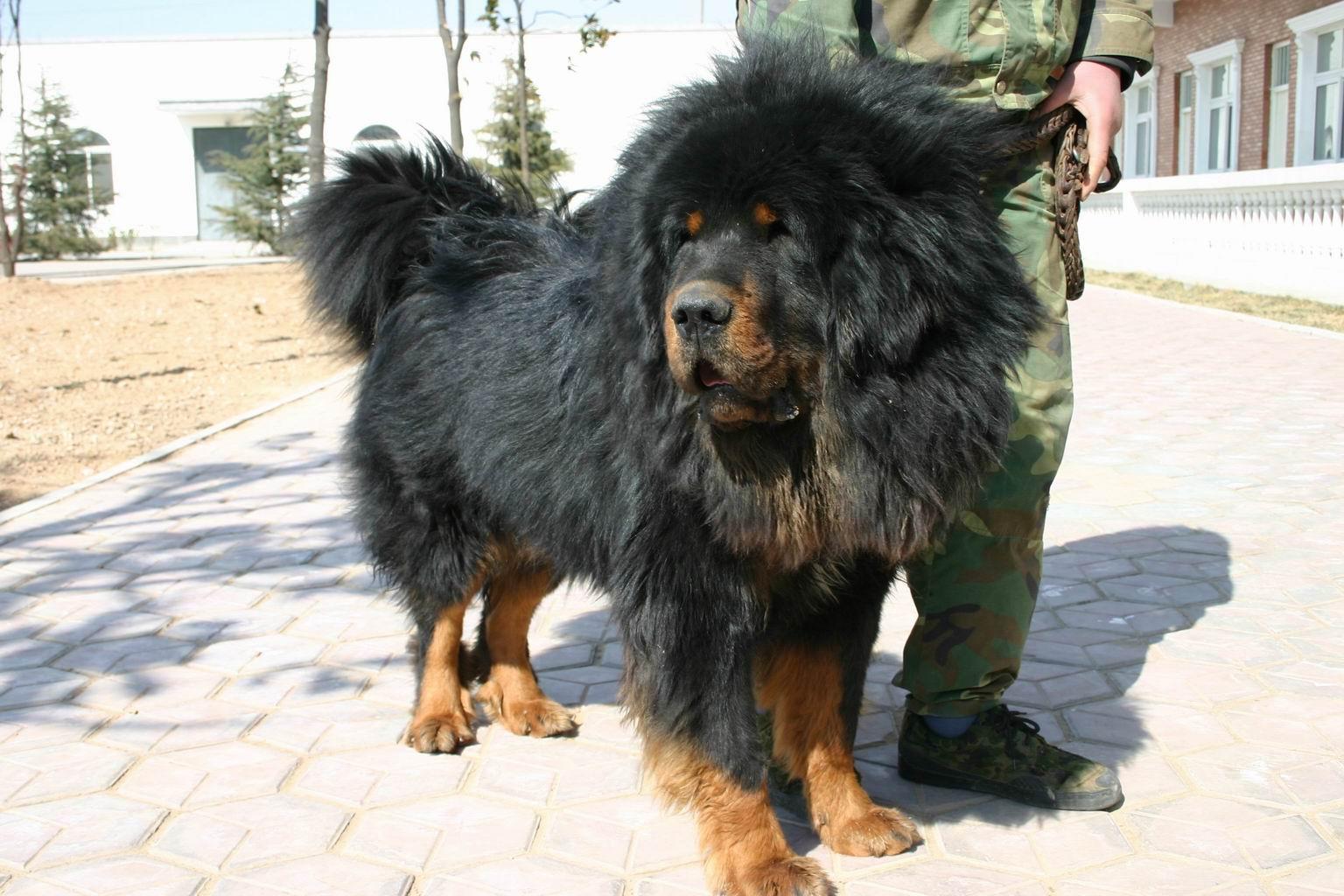 中国最大的藏獒王_世界猛犬之王:藏獒!