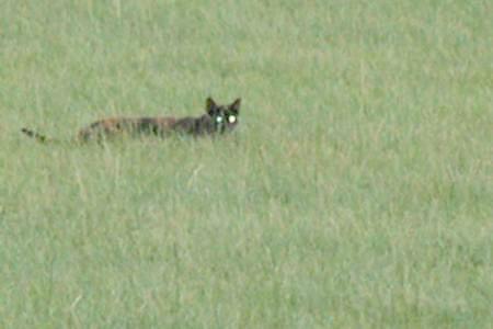 法国发现一只不明猫科动物